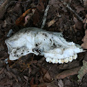White-tailed Deer (skull)