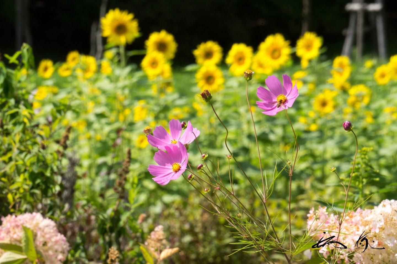 境内に咲くひまわりとコスモス