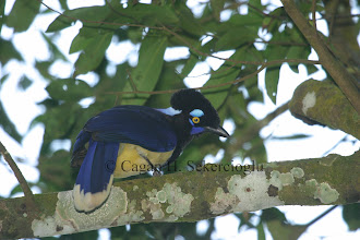 Photo: Plush-crested Jay