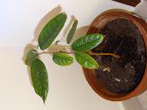 Photo: Week 10 - 23 cm / leaf 8.5 cm - got new leaves