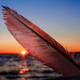 Backlighted feather by Susan Campbell - Nature Up Close Other Natural Objects