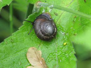 Photo: 3 Jul 13 Priorslee Lake: A black snail! research on the web has failed to provide any information on this rather unusual colour – the whorls on the shell are rather unusual as well. (Ed Wilson)