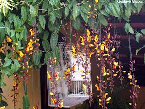 Photo: Sapatinho de Judia (Thunbergia mysorensis)