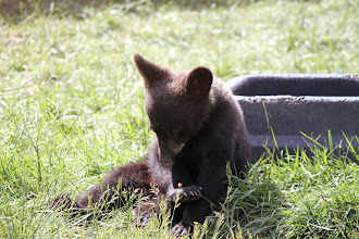 Photo: 07/06/2013 - Bear Country Park, Rapid City, South Dakota - Bear Cubs - ahhh so cute..