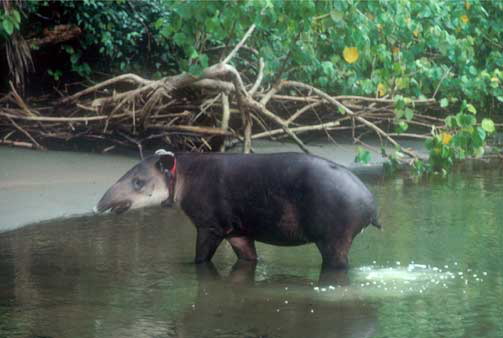 Tapirs routinely defecate in waterways.