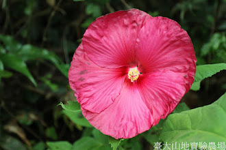 Photo: 拍攝地點: 梅峰-溫帶花卉區 拍攝植物: 大花扶桑 拍攝日期: 2015_07_29_FY