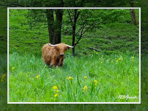 Photo: Highland et Iris des marais