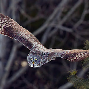Great Gray Owl by Herb Houghton - Animals Birds ( bird of prey, boreal forest, great gray owl, owl, raptor, herbhoughton.com )