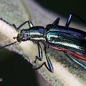 Tree darkling beetle