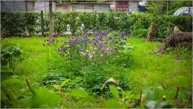 Photo: Căldăruşe, Columbine (Aquilegia vulgaris)  - din Turda, Str. Aviatorilor, Nr.8 - 2019.05.24
