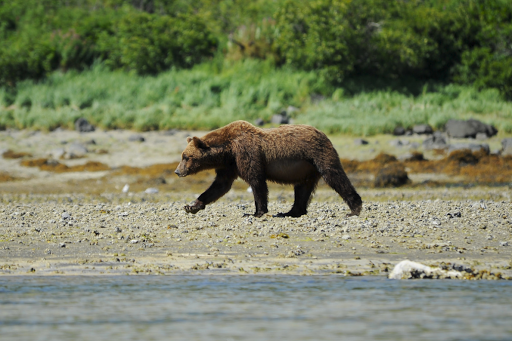 Ponant-Katmai-bear2.png - Visit Katmai National Park and Preserve in Alaska, known for its brown bears, on a Ponant cruise.
