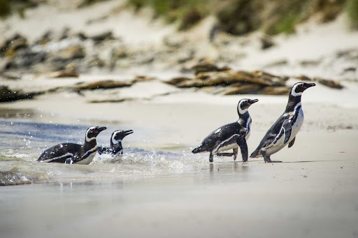 Ponant-Argentina-penguin-beach.jpg - Come see majestic Magellanic penguins on a Ponant cruise from Argentina to Antarctica.