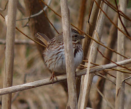Photo: Song Sparrow trying to hide