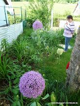 Photo: Ganz schön groß geworden.Allium in allen möglichen Farben, Formen und Größen.