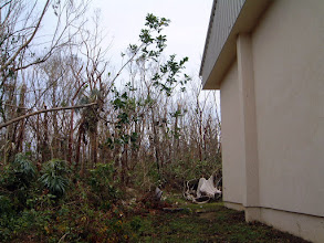 Photo: 2004 Ironwood Forest, behind the University College of the Cayman Islands hall, a few days after Hurricane Ivan hit. The trees and shrubs, including the Critically Endangered in this self-sustainable forest,  lost their leaves and some branches, but they recovered. Sept.19, 2004