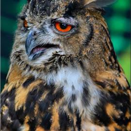 eagle owl by Nic Scott - Animals Birds ( owl, eagle owl, bird,  )