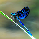 Beautiful Demoiselle, caballito del diablo azul