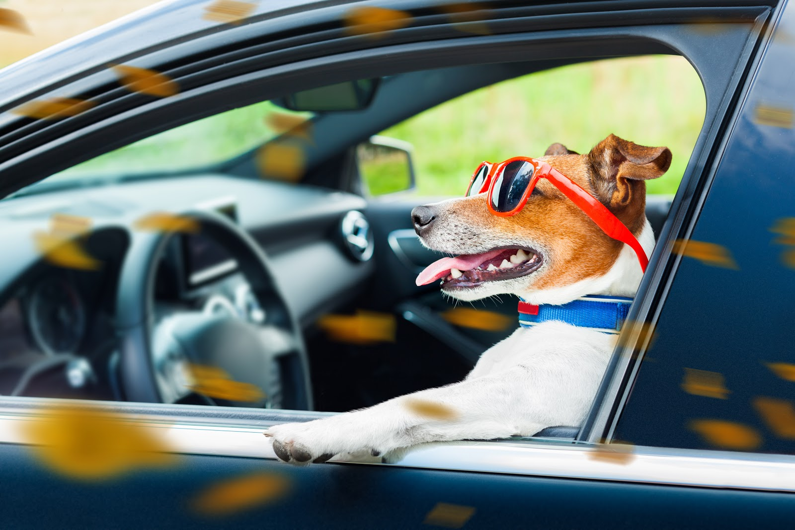 Dog driving the car with head out of the window and red sunglasses on.