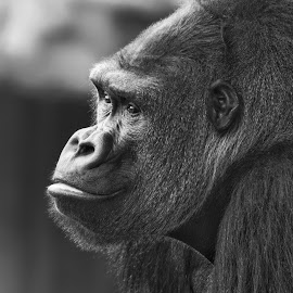 Silverback  by Margie Troyer - Black & White Animals