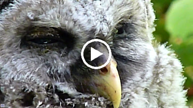 Video: Hatch the Barred Owlet - The following day it was killed by a Coyote.