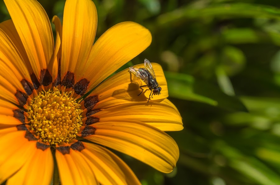 by Ken Mickel - Animals Insects & Spiders ( up close, flora, plants, gardens, wildlife, insects, close up, photography, blossoms, blossom, gazania, nature, fly, house fly, flowers, garden, flower )