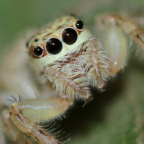 Little Spider by Edwin Yepese - Animals Insects & Spiders ( animals, macro, nature up close )