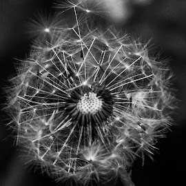 Snowflake by Iva Marinić - Black & White Flowers & Plants ( black background, detailed, details, black and white, photography, dandelion, flower,  )
