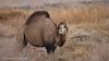 Off-the-Beaten Path Uzbekistan: A 3-Day Aral Sea Tour // Camel in the Aral Sea Basin
