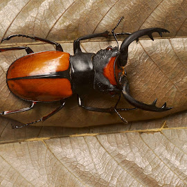odontolabis lacordairei by Adjie Tjokrosoedarmo - Animals Insects & Spiders ( beetle, insect )
