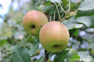 Photo: 拍攝地點: 梅峰-蘋果園 拍攝植物: 富士蘋果 拍攝日期: 2014_09_27_FY