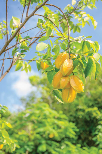 Enjoy fresh star fruit (carambola), a waxy, yellow-green fruit, on St. Thomas, U.S. Virgin Islands.