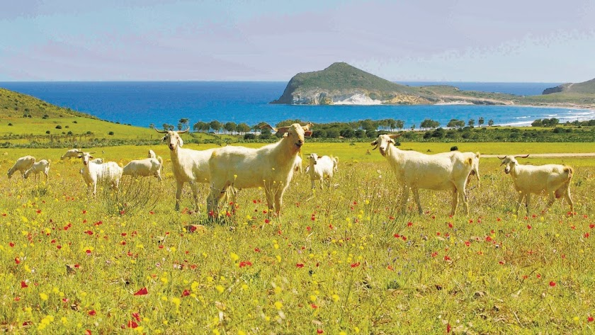 Cabras únicas del Cabo de Gata pastoreando frente a Genoveses, en la finca El Romeral.