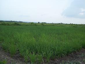 Photo: SRI plot in Dogba, Bonou, Benin. One month old rice field 2012. [photo by Pascal Gbenou]