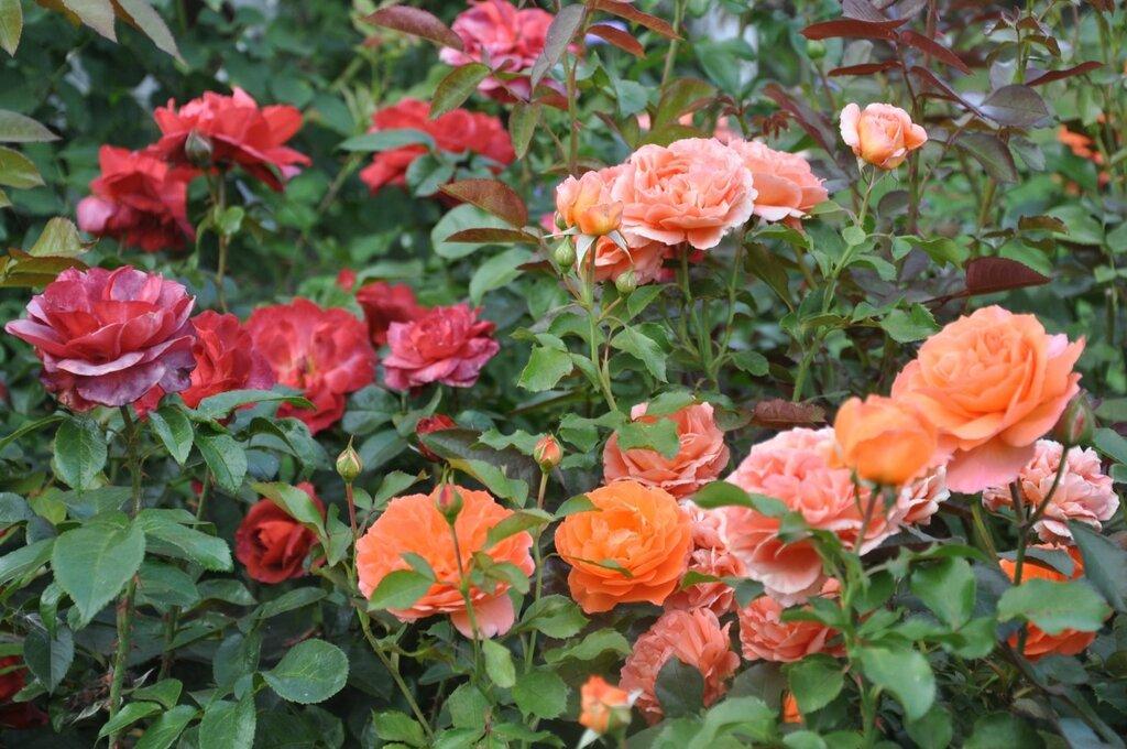 де цвітуть рози в україні