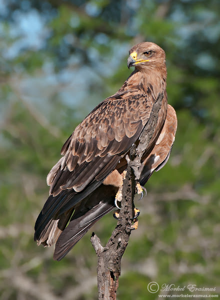 """Photo: """"Regal Tawny Eagle"""" - this majestic Tawny Eagle perched close to us one afternoon in the Kruger National Park. We were watching some Carmine Bee-Eaters fluttering about, when this one made its appearance."""