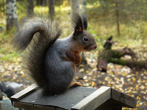 Photo: Red squirrel getting grey for the coming winter For #SquirrelSaturday curated by +Skippy Sheeskinand +Beth Blackwell