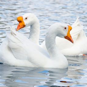 Duck by Fabienne Lawrence - Animals Birds ( feather, duck, bird, animal, water )