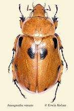 Photo: Ancognatha vexans, Costa Rica, Mirador de Quetzales (09°38´/-83°50´), leg. Erwin Holzer, det. Angel Solis