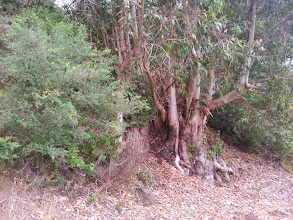 Photo: Both French broom and poison oak do very well next to eucalyptus.