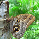 Pale Owl-Butterfly