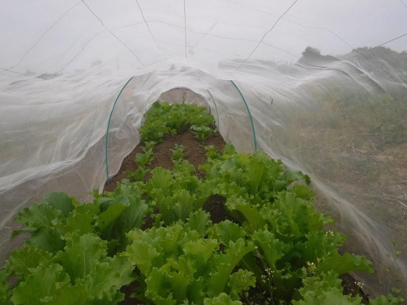 山東菜。奥のあんまり生えていないところ、なんででしょうね。肥料を与えない自然栽培だとこういう部分がたまにあります