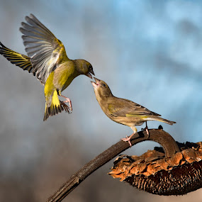 by Mauro Rotisciani - Animals Birds ( bird, fiore, fly, volare, wildlife, uccelli )