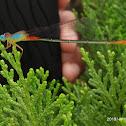 Orange-tailed Marsh Dart