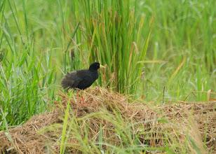 Photo: Polluela negra africana (Amaurornis flavirostris)