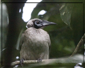 Photo: Helmeted Friarbird - Philemon buceroides © NF Photo 140909,Cassowary House http://nfaubird.blogspot.se/2014/12/helmeted-friarbird-philemon-buceroides.html