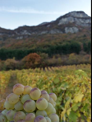 Grappe de raisin Roussanne - Domaine Yves Girard-Madoux - Vignoble de la Pierre - Vin de Savoie - Chignin
