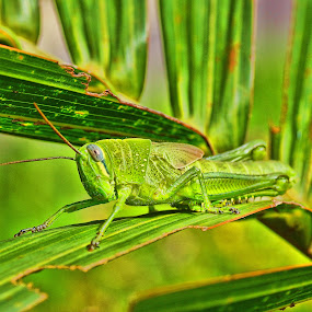 Belalang HDR by Hendrianto YAP 叶 长 財 - Novices Only Macro