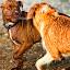 Doggie Play by Linda Tiepelman - Animals - Dogs Playing ( stick, caine, park, wentzville, pup, play, mutt, broemmelsiek park, county park, missouri, hound, state park, bark, fur, puppy, pooch, dog, animal )