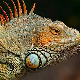 Yuki l'iguane by Gérard CHATENET - Animals Reptiles