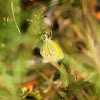Straight-barred Grass Yellow Sulphur Butterfly